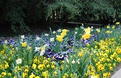 Pansies. Bright pansies on a flowerbed Royalty Free Stock Photos