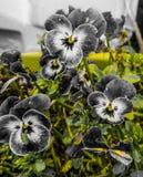 Pansies cinzentos e brancos Fotografia de Stock