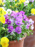 Pansies in Clay Pots Stock Images