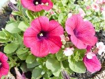 Pansies  Stock Photos