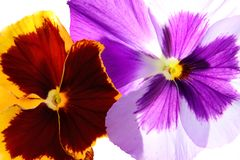 Pansies. Close up of pansies, isolated Stock Photography