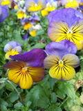 Pansies Closeup. Pansies - Viola Cornuta Lemon Sorbet Blueberry Swirl Royalty Free Stock Photos