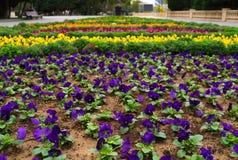 Pansies. Colorful pansies on bed Purple flowers in garden Stock Image