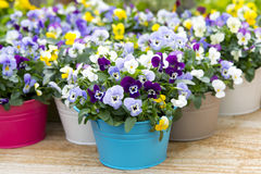 Pansies in colorful pots Stock Photography