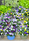 Pansies in colorful pots Royalty Free Stock Photography