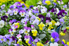 Pansies in colorful pots Stock Image