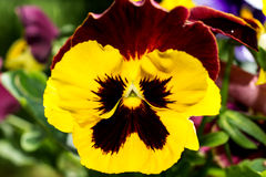Pansies coloridos da flor - macro 2 imagens de stock royalty free