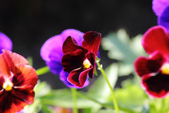 Pansies. A cultivated flower. Royalty Free Stock Photography