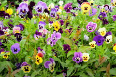 Pansies in de tuin Royalty-vrije Stock Fotografie
