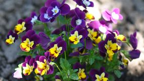 Pansies. Detail of pansies over blurry background Royalty Free Stock Photo