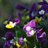 Pansies. Detail of pansies over blurry background Stock Photos