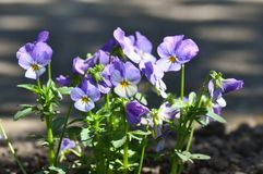 Pansies. Detail of pansies over blurry background Royalty Free Stock Photography