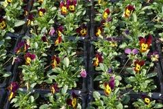 Pansies Royalty Free Stock Photo
