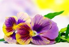 Pansies doces Imagens de Stock