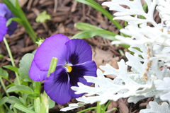 Pansies and Dusty Miller. Purple pansies beside Dusty Miller in garden during spring Stock Photo