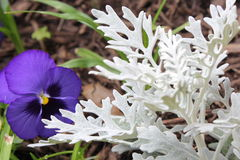 Pansies and Dusty Miller. Purple pansies beside Dusty Miller in garden during spring Stock Photography