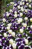 Pansies e Tulips Fotografia de Stock