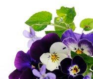 Pansies e violetas imagem de stock royalty free