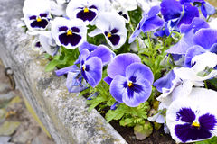 Pansies in een bloembed in de lente Royalty-vrije Stock Afbeeldingen