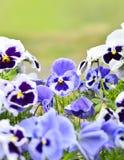 Pansies in een bloembed in de lente Royalty-vrije Stock Foto's