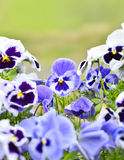 Pansies em um canteiro de flores na primavera Fotos de Stock Royalty Free
