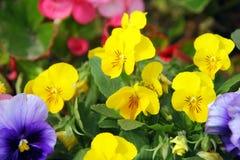 Pansies em um jardim da mola Fotos de Stock Royalty Free