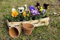 Pansies em uma cesta Foto de Stock Royalty Free