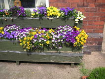 Pansies em umas caixas da flor Foto de Stock Royalty Free