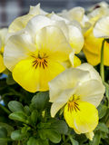 Pansies with extreme shallow depth of field. Stock Photography
