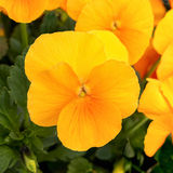 Pansies with extreme shallow depth of field.Nature Stock Photography