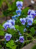Pansies eyed azuis bonitos que crescem no campo foto de stock royalty free