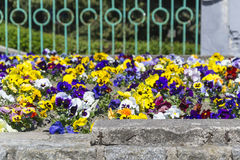 Pansies. In the flower bed Royalty Free Stock Photography