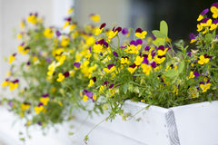Pansies in Flower Box Royalty Free Stock Images