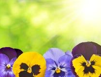 Pansies flower Stock Photo