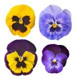 Pansies flower Royalty Free Stock Photo