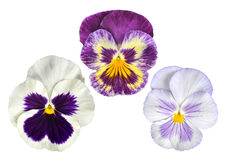 Pansies flower Royalty Free Stock Photography