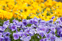Pansies flower Stock Image
