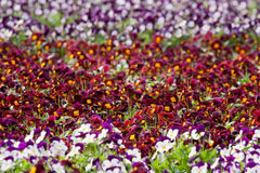 Pansies flower in a plant nursery Royalty Free Stock Images