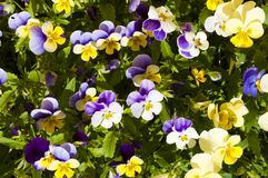 Pansies Flowerbed Stock Photos