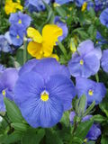Pansies in flowerbed. Blue and yellow pansies in flowerbed Royalty Free Stock Image
