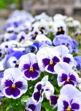 Pansies in a flowerbed in springtime Stock Images