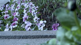 Pansies on flowerbed waving in breeze. View of pansies on flowerbed waving in breeze stock video footage