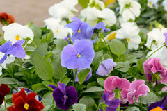 Pansies. Flowering in flower bed. Violet, purple, red, white and pink Stock Image