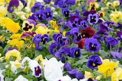 Pansy flowers. Pansies flowering in large flower bed Royalty Free Stock Photo