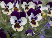 Pansies in the flowering Stock Images