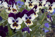 Pansies in the flowering Royalty Free Stock Images