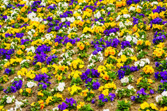 Pansies flowers. Colorful background or texture. stock photography