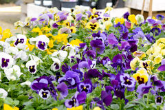 Pansies. Flowers on display in garden centre Royalty Free Stock Photography