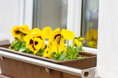 Pansies flowers in a flower box on a window-sill. Some yellow pansies flowers in a flower box on a window-sill Royalty Free Stock Photos