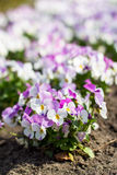 Pansies flowers Royalty Free Stock Photos